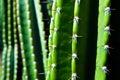 San pedro cactus spieks of a green Stock Image
