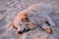 Sand colored dog sleeps in the sand on the beach sunset Stock Photography