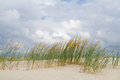 Sand Couch grass Royalty Free Stock Photo