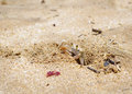 Sand crab in makena maui hawaii cute little coming out of its beach hole near Stock Photo