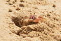 Sand Crab (Ocypode) Digging a Burrow Royalty Free Stock Photo