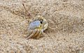 Sand crab shot of a on the beach Stock Images