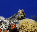 Sand diver fish resting on a coral reef fifty feet underwater Royalty Free Stock Images