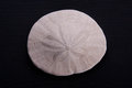 A Sand Dollar Royalty Free Stock Image