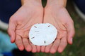 Sand dollar a close up view of someone holding a Royalty Free Stock Photos