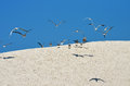 Sand dune and birds white terns flying blue sky Stock Image