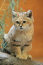 Sand dune cat Royalty Free Stock Photo