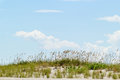 Sand dune and tall sea oats with blue sky in the background Royalty Free Stock Photo