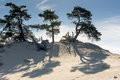 Sand dunes kootwijkerbroek netherlands drift trees and grass at Royalty Free Stock Photo
