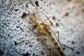 Sand Fly Gnat Royalty Free Stock Photo