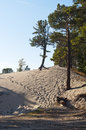 Sand hill with Pine-tree Royalty Free Stock Photos