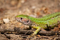 Sand lizard Stock Photo