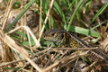 Sand Lizard (Lacerta agilis) Royalty Free Stock Images