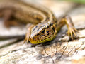 Sand lizard lacerta agilis animal Stock Images