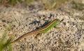 Sand Lizard Lacerta agilis male Royalty Free Stock Photo