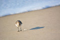 Sand Piper Bird Along Ocean Royalty Free Stock Photo