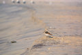 Sand Piper Bird on the Beach Royalty Free Stock Photo
