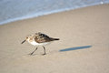 Sand Piper Walking by on Beach Royalty Free Stock Photo