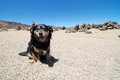 Sand and rocks desert dog on teide volcano in canary islands spain Stock Image