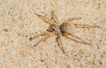 Sand Spider Stock Photo