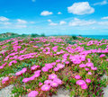 Sand in spring hottentots fig flowers on a dune sardinia Royalty Free Stock Image