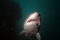 Sand Tiger Cruising Overhead Stock Photo