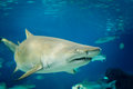 Sand tiger shark carcharias taurus underwater close up portrait Royalty Free Stock Photo