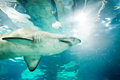 Sand tiger shark carcharias taurus underwater close up portrait Stock Images