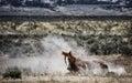 Sand Wash Basin wild horse rolling Royalty Free Stock Photo