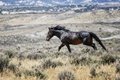 Sand Wash Basin wild horse running Royalty Free Stock Photo