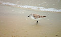 Sanderling on beach Royalty Free Stock Photography
