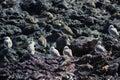 Sanderling - Calidris alba