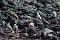Sanderling Calidris alba and ruddy turnstone Arenaria interpres.