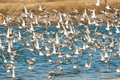Sanderllings and western sandpipers flock of sanderlings in flight over water Royalty Free Stock Photography