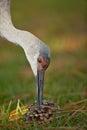 Sandhill crane Royalty Free Stock Photo