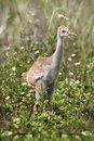 Sandhill crane baby cranes grus canadensis in the florida everglades Stock Photos