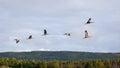Sandhill Crane Flying