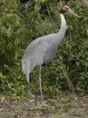 Sandhill crane a standing on one leg Royalty Free Stock Image