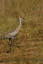 Sandhill Crane on the trot Royalty Free Stock Photography