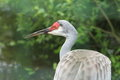 Sandhill crane the upper body of Stock Photo