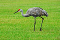 Sandhill crane walking in grassy field Royalty Free Stock Photography