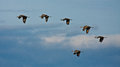 Sandhill Cranes in Flight Stock Photography