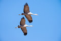 Sandhill cranes in flight with blue sky background Royalty Free Stock Photography