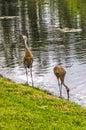 Sandhill Cranes at a Lake Royalty Free Stock Photo
