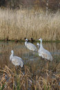 Sandhill Cranes vertical Stock Photo
