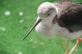 Sandpiper bird at the zoo beautiful with a long beak Stock Images