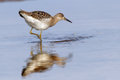 Sandpiper caught mollusk young on shallow Stock Photography