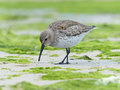 Sandpiper feeding closeup of a at the shore in the midst of green algae Stock Images