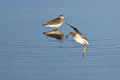 Sandpiper landing on water shallow blue Stock Images