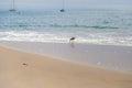 Sandpiper sea bird on the shore at santa cruz beach california usa Royalty Free Stock Photos